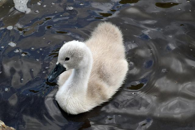 Mute Swan, Mute Swan Signet, Swan, Signet