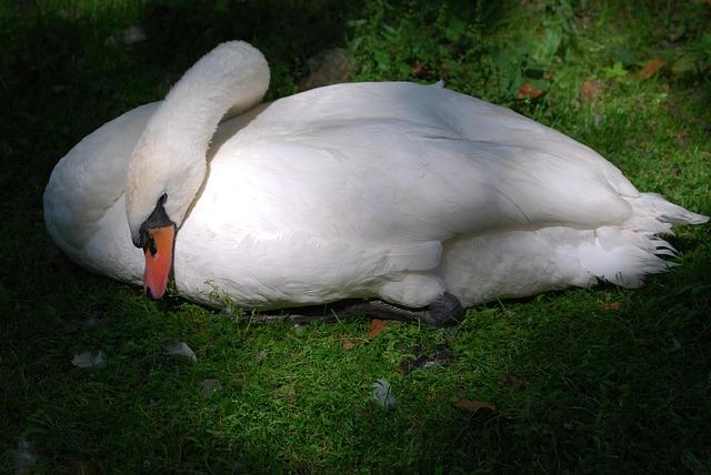 Swan, Rest, Nap