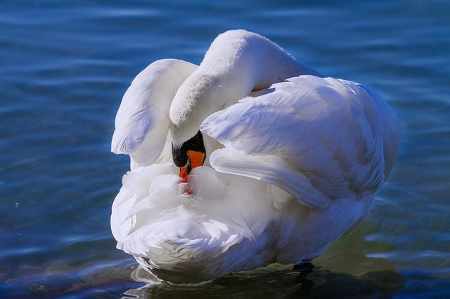 Swan, Lake, Waters, Bird, Nature, Animal, White