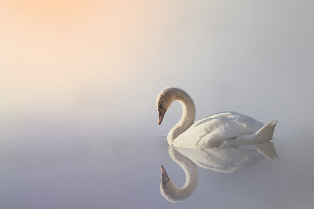 Swan, Nature, Fog, Water, Animal, Lake, White Swan