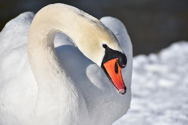 Swan, Elegant, Water Bird, Poultry, Plumage, Winter