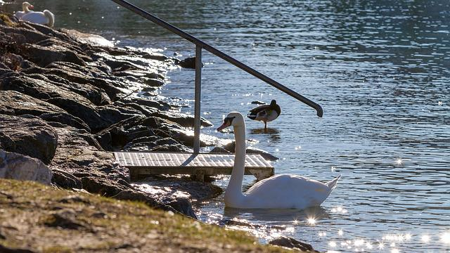 Swan, Nature, Lake, Proud To Be A Swan, Backlighting