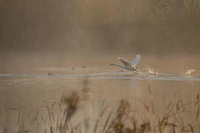 Swan Taking Off, Swan, Mist, Sunrise, Riverbank