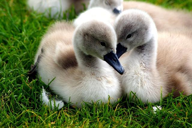 Swans, Chicks, Nature, Lake, Water, Grass, Swan, Bird