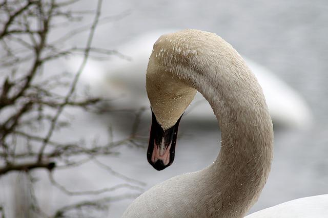 Swan, Swimming Bird, National Bird, Water, Danish