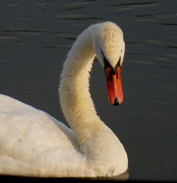 Swan, Bird, Water Bird, Danube