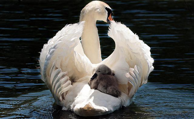 Swan, Baby Swan, White, White Swan, Water, Lake, Bird