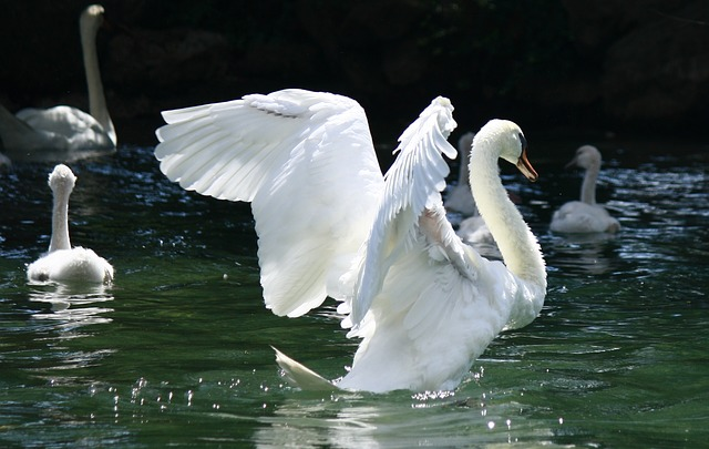 Swan, Garda, Italy, Wings, Water, Lake