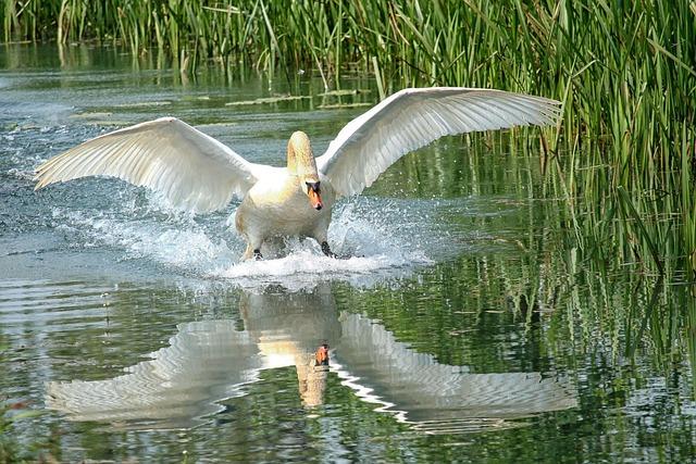 Swan, Lake, Water, Waters, Water Reflection, Wing