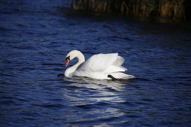 Swan, Animal, Water, Water Bird, Nature, White Swan