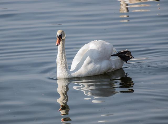 Swan, Bird, Waters, Lake, Nature, Water Bird, White