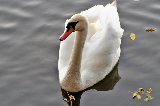 Swan, White, Water Bird, Pond, Feather, Surface, Nature