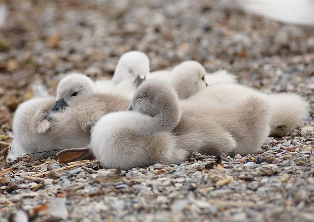 Swan, Chicks, Young Animals, Swans, Sweet, Young
