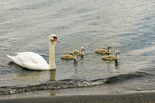 Swan, Swans, Chicks, Cygnus, Anatidi, Birds