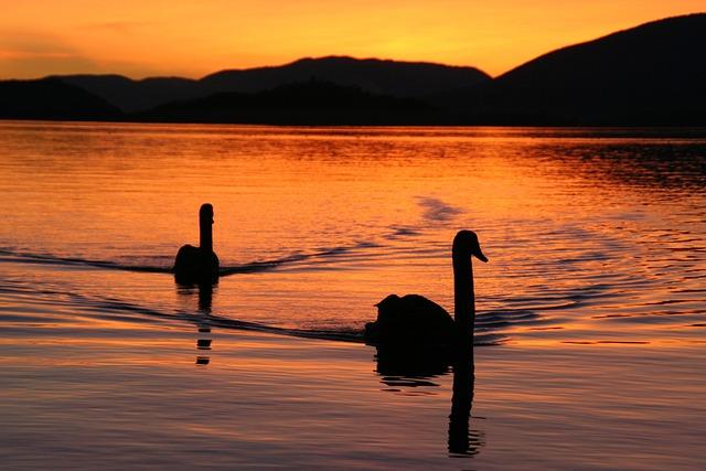 Lake Biel, Swans, Evening, Mood, Abendstimmung, Lake