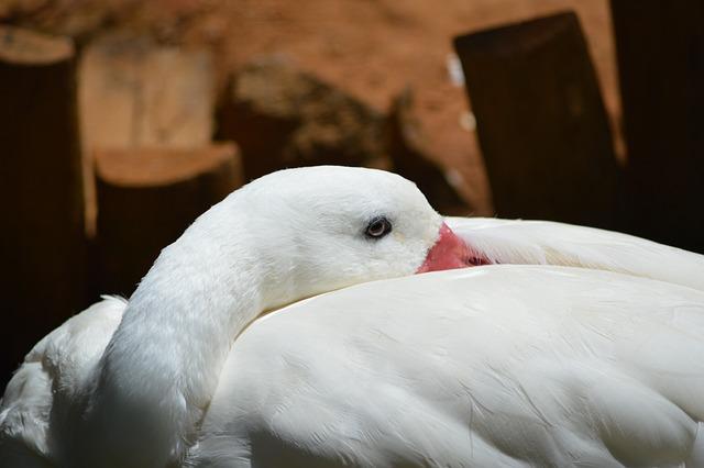 Swan, Animal, Swans, Salvador, Bahia
