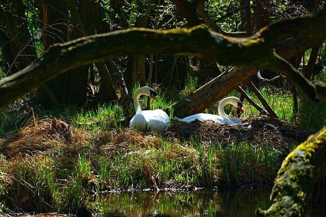 Nature, Waters, Swan Pair, Swans, Swan's Nest, Tree