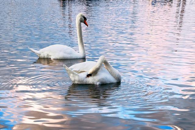 Swans, Water, Two, Water Bird, Late Autumn, Rhine