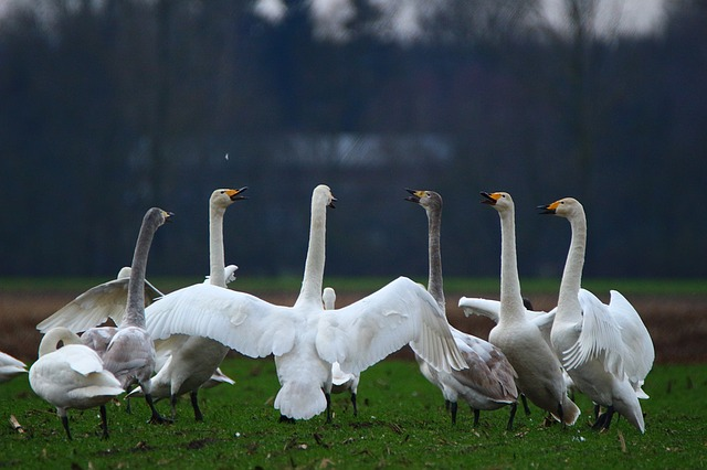 Swan, Whooper Swan, Bird, Swans, Flock Of Birds