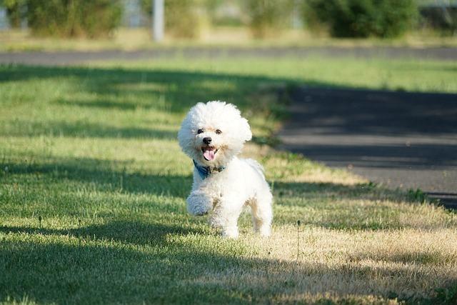 Dog, Sweet, Animals, Pets, Bichon, Bichon Frise, Race