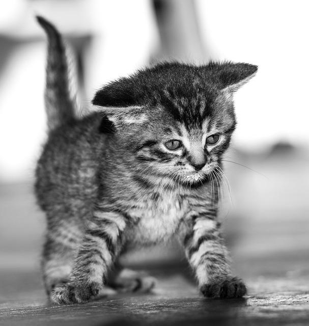 Cat Baby, Black And White, Sweet, Cat, Baby