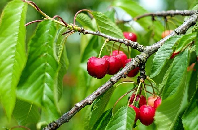 Cherry, Sweet Cherry, Red, Fruit