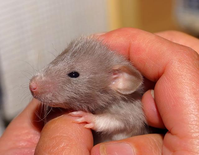 Rat, Baby, Sweet, Color Rat, Cute, Young Animal