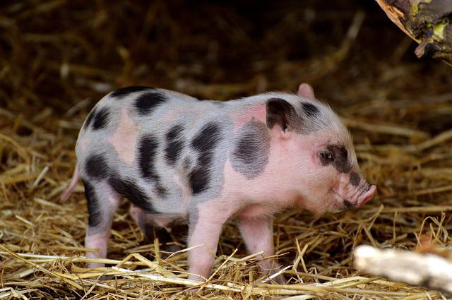 Piglet, Small Pigs, Mini, Cute, Sweet, Funny, Play