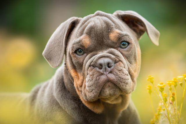 Puppy, Bulldog, Dog, Portrait, Cute, Sweet