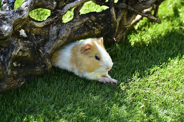 Sea pig, Sea pig House, Sweet, Cute, Animal, Rodent