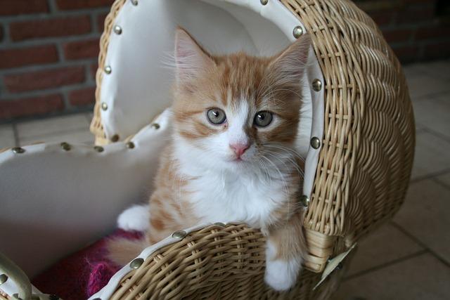 Kitten, Cat Baby, Fluffy, Baby Cat, Sweet, Domestic Cat