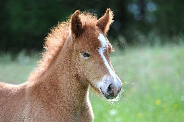 Foal, Iceland Foal, Iceland Horse, Cute, Horse, Sweet