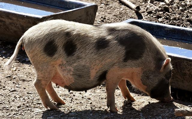 Pot Bellied Pig, Piglet, Small Pigs, Mini, Cute, Sweet
