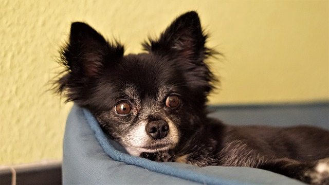 Chihuahua, Dog, Small, Cute, Sweet, Long Hair Chihuahua
