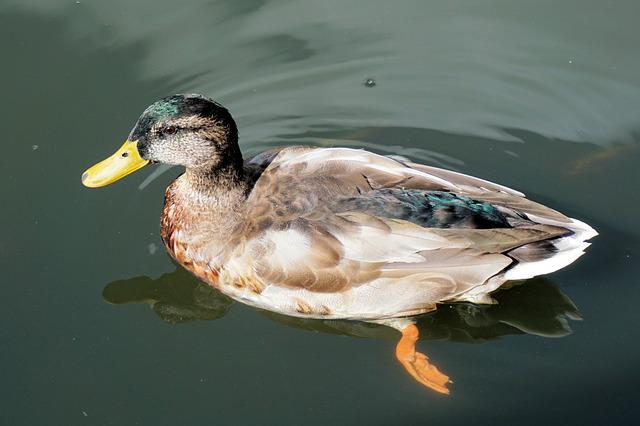 Duck, Pond, Water, Before Gel, Swim, Park, Water Bird