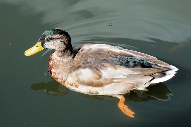 Duck, Pond, Water, Before Gel, Swim, Park, Water Bird