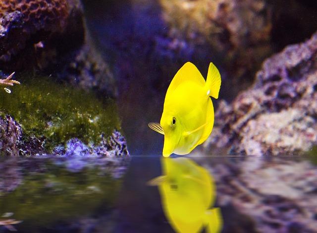 Surgeonfish, Fish, Yellow, Aquarium, Swim, Underwater