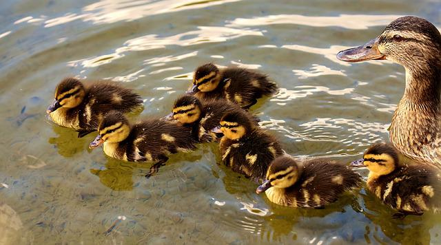 Mallards, Chicks, Baby, Swim, Small, Cute, Sweet, Funny