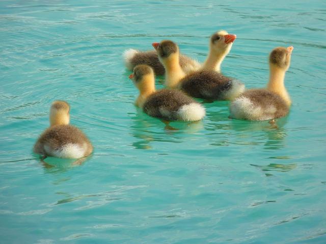Goose, Chicken, Gaensekuecken, Animals, Water, Swim