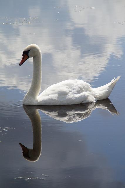 Swan, Mute Swan, Water Bird, Swim, Mirroring, Mirrored