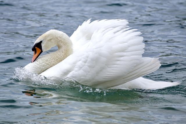 Swan, Swim, Bird, Water, Water Bird, Nature, Lake