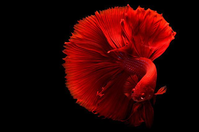 Color Pop, Fish, Tail, Red, Red Fish, Swim, Swimming