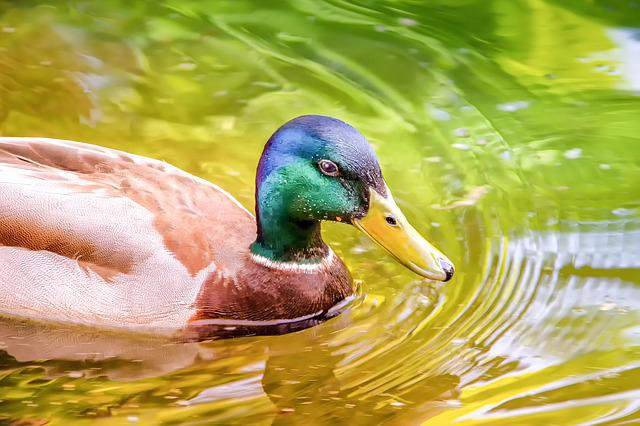 Animal, Nature, Duck, Water Bird, Bill, Swim, Pond