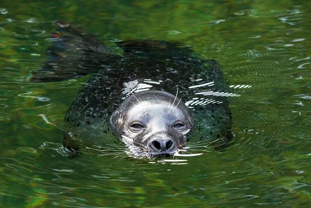 Seal, Swim, Robbe, Water, Meeresbewohner