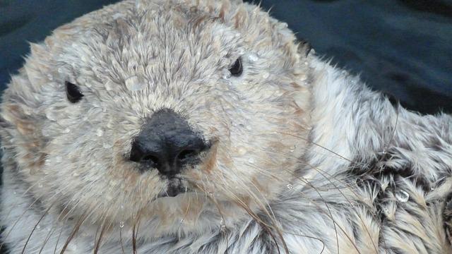 Otter, Marten, Swimmer, Water