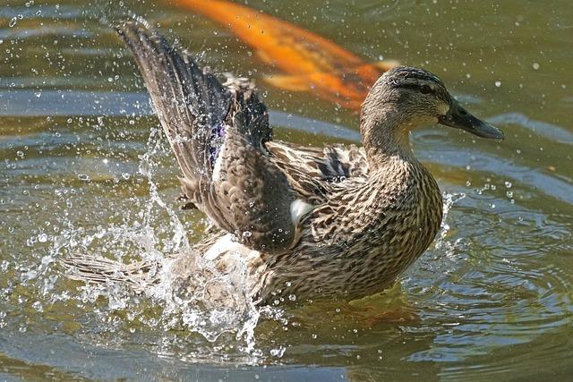 Northern Shoveler, Magpie, Duck Bird, Swimming Duck