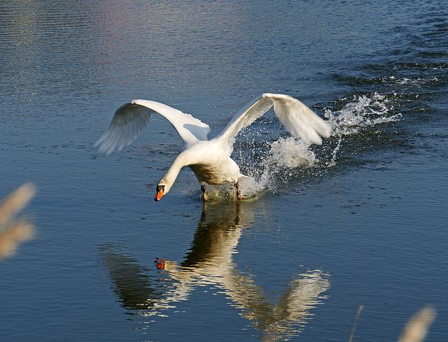 Swan, Departure, Start, Mirror Image, Swing, Take Off
