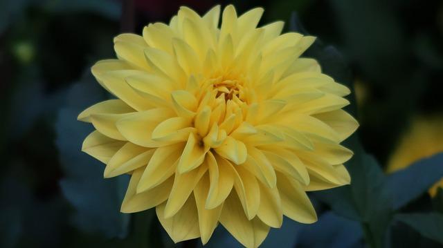 Yellow Flower, Swiss, Luzern
