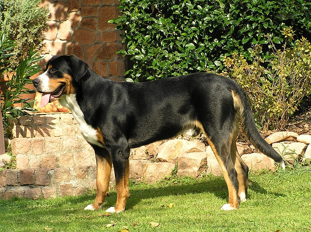 Greater Swiss Mountain Dog, Pup, Swiss Mountain Dog