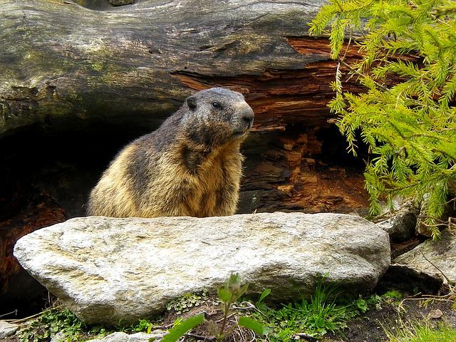Marmot, Rodent, Alpine, Switzerland, Animal